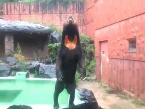 東山動植物園 マレーグマ マーチン君 人が入ってるみたいな