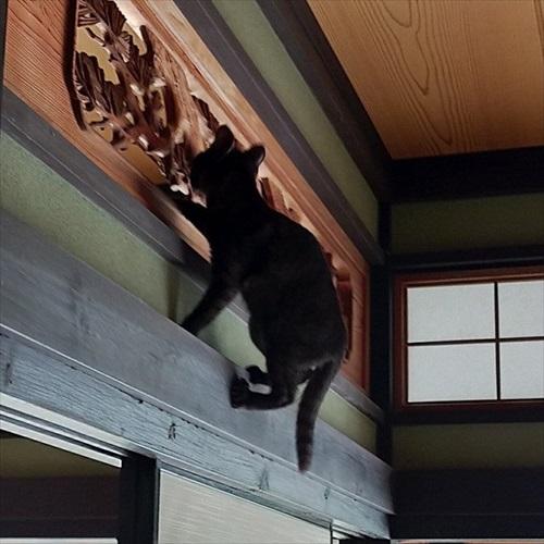 脱走したと思ったら欄間によじ登っていた猫ちゃん