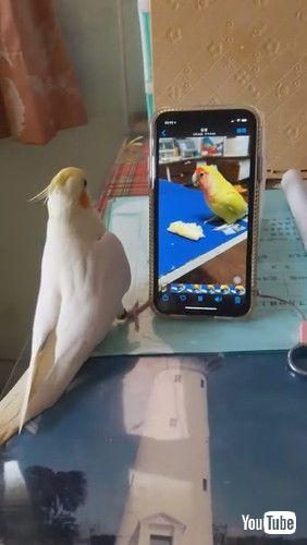 「Bird Tries to Find Friend on Screen    ViralHog」