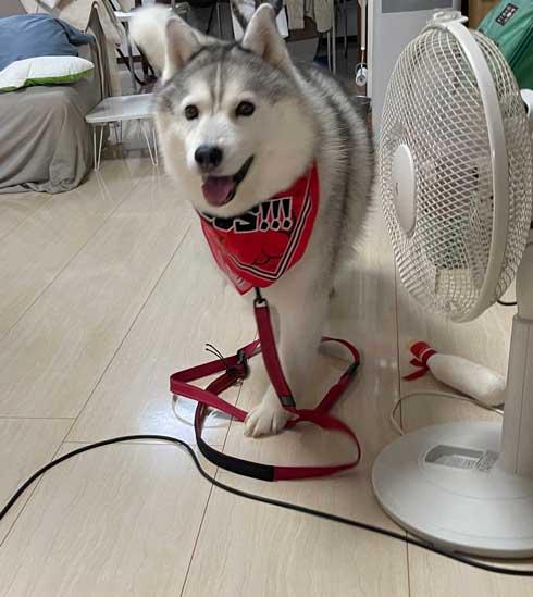 ハスキー シルビア 病院 わかってない 犬 表情 変化