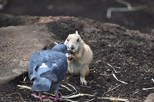 カツアゲハトの背中と正面プレーリードッグ