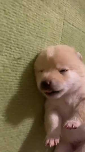 手を離せ 秒で寝た 子犬 豆柴 柴犬 パピー