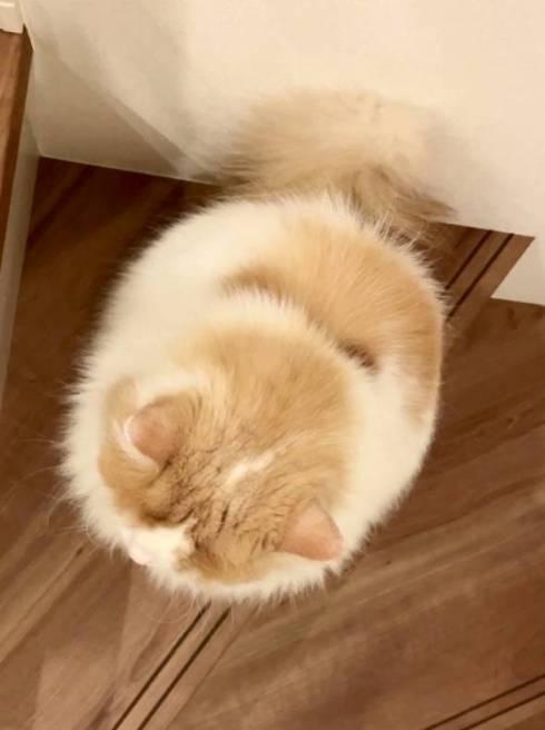 猫 スコティッシュフォールド レモン君 ふみふみマッサージ