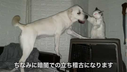 ラブラドール 大好き 子猫 保護猫 アタック ベルとスノー YouTube