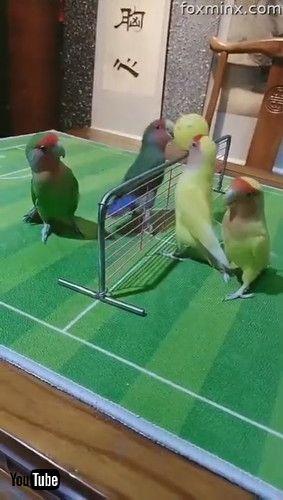 「Skilful Parrots Playing Ball Games Together || ViralHog」