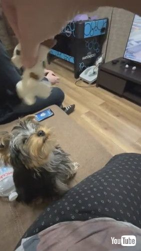 「Yorkie Leaps Into Beanbag After Toy || ViralHog」