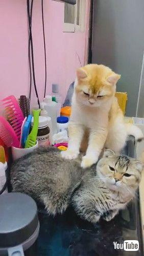 「Golden Cat Massages Friend || ViralHog」