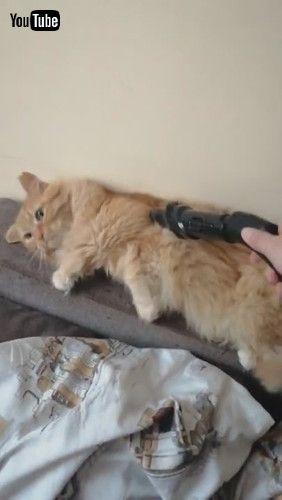 「Kitty Enjoys Getting Groomed by Vacuum || ViralHog」
