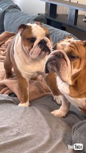 Bulldog Brothers
