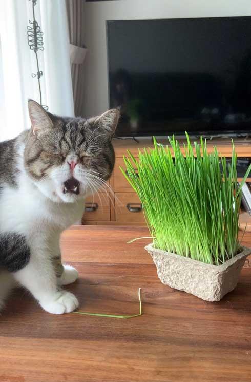 まずい顔 上手 猫 表情 猫草