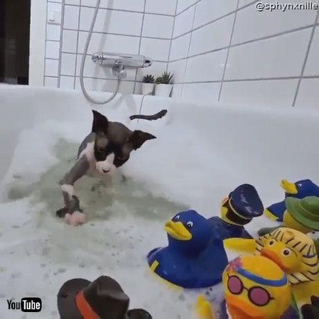 「Sphynx Cat Plays in Bath with Rubber Duckies    ViralHog」