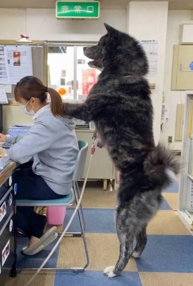 秋田犬 秋田犬保存会 スバルくん