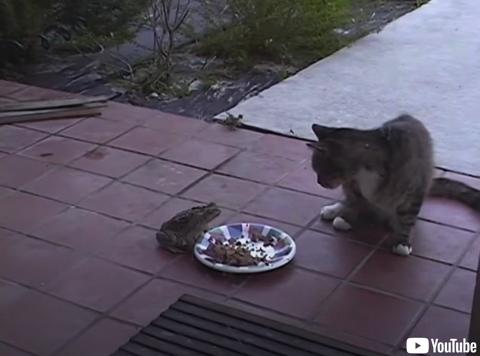 猫を脅かし餌を略奪するカエル