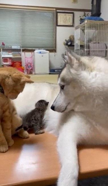 大きさが違い過ぎるハスキーと猫ちゃん