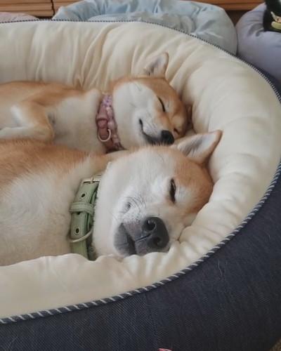 シンクロ寝のワンコ