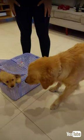 先住犬と子犬