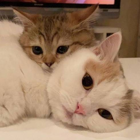猫 マンチカン にぼしちゃん スーパー怠惰ねこ