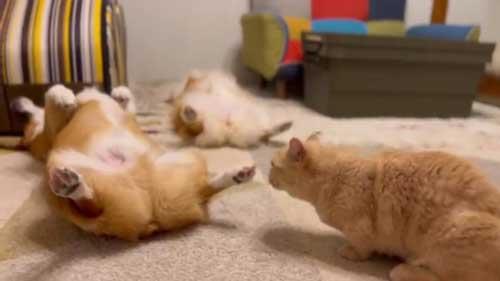 兄妹 コーギー 起きない 猫 そっちが起きるの 爆睡 犬