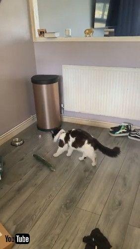 「Cat Sees Cucumber and Walks in Reverse || ViralHog」