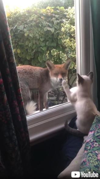 ガラス越しにあいさつを交わすキツネと子猫