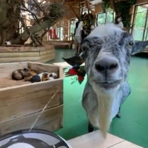 猫のオモチャで遊ぶヤギさん