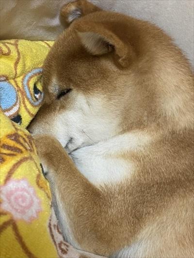 お父さんお母さんの帰宅がうれしい柴犬さん