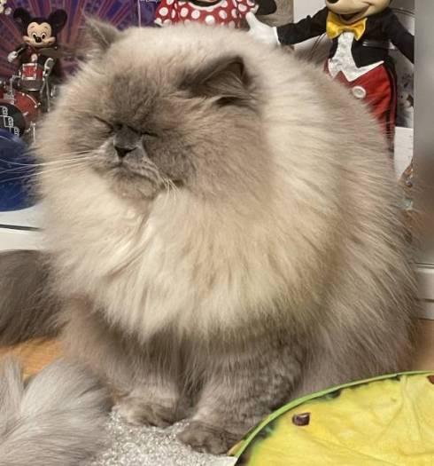猫 ゆめちゃん ヒマラヤン まんじゅう