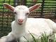 「ヤギ」はどれほど草を食べる? 鉄道の経験を太陽光発電に生かす西武