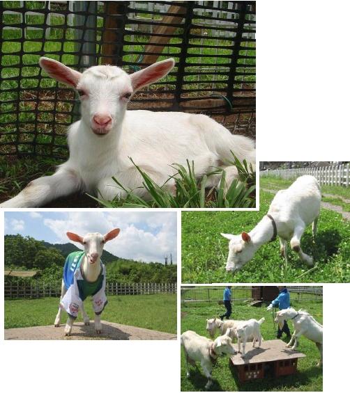 yh20131129Seibu_goat_502px.jpg
