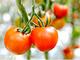 トマトを育てるバイオマス発電、虫害対策で生まれる未利用材を使用