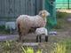 発電の敵が大好物、除草を羊とヤギに頼むメガソーラー