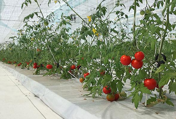 <strong>図1 太陽光型植物工場の様子 出典:大林組</strong>